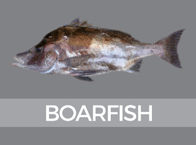 boarfish-species-id