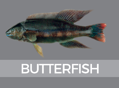 butterfish-species-id