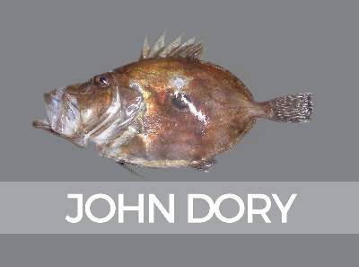 johndory-species-id