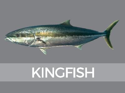 Species Identification Fish Id Nz Snapper