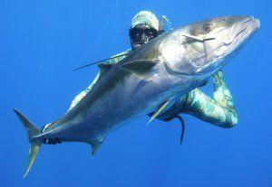 Kingfish Spearfishing Nz Ocean Hunter